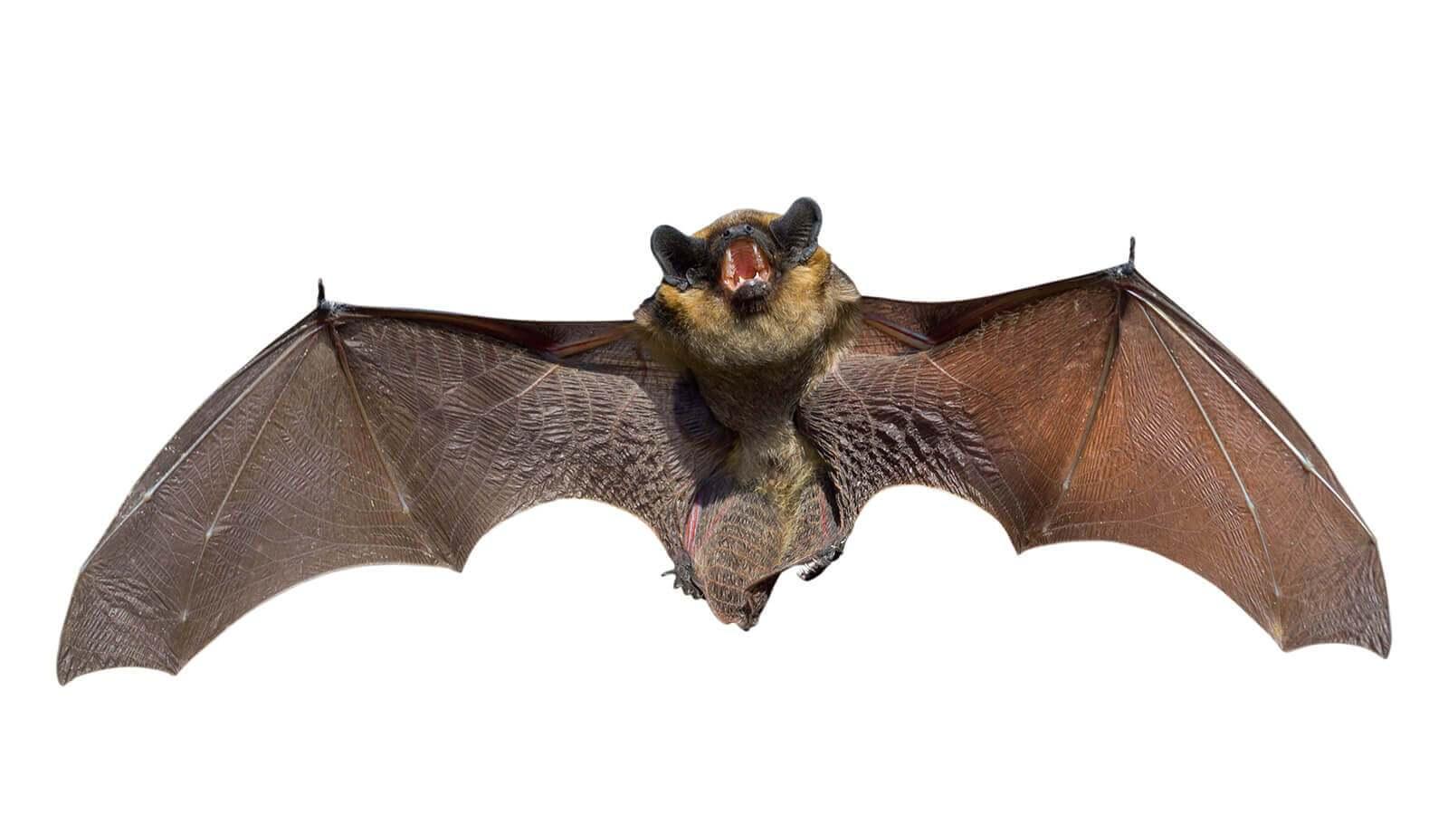 يصنف الخفاش ضمن